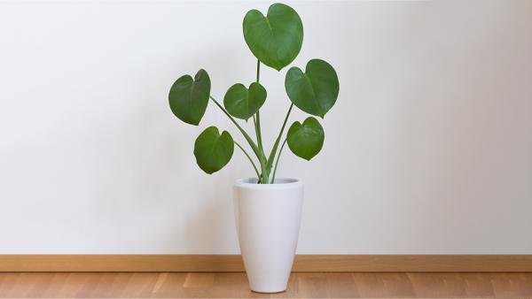 Monstera Deliciosa young plant