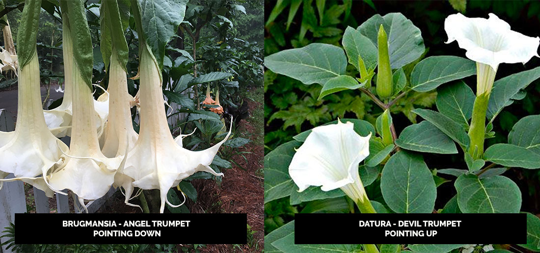 The difference between angel trumpet and devil trumpet