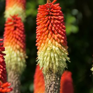 Kniphofia Red Hot Poker Plant