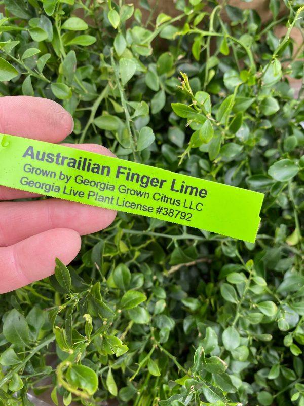 Australian Finger Lime Jerry's Jungle
